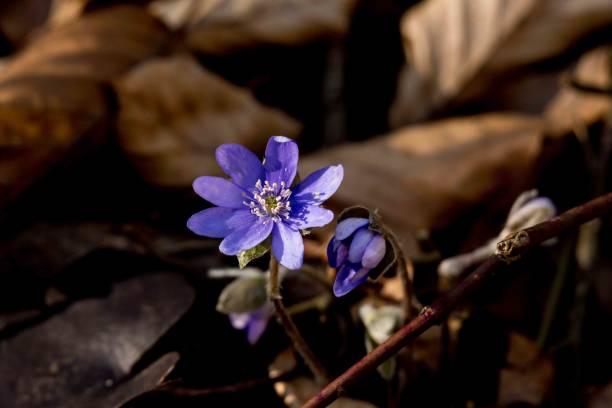 Przylaszczka (Hepatica nobilis) – zdjęcie