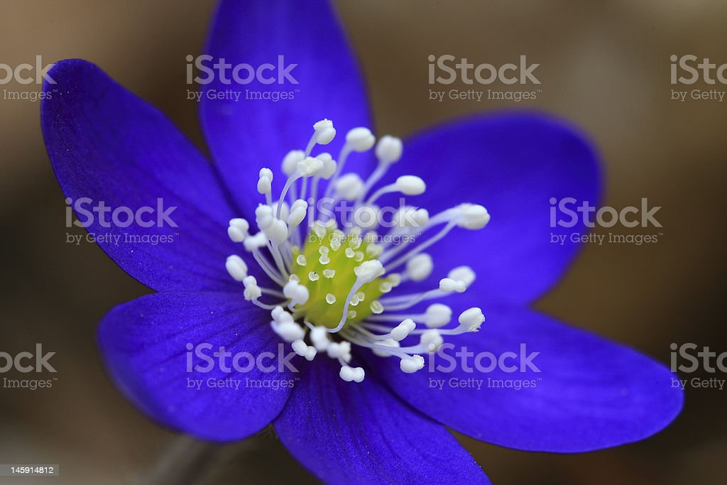 Hepatica nobilis royalty-free stock photo