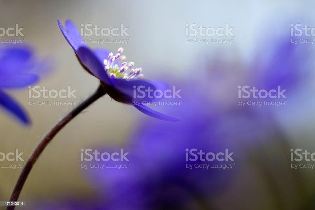 hepatica nobilis stock photo