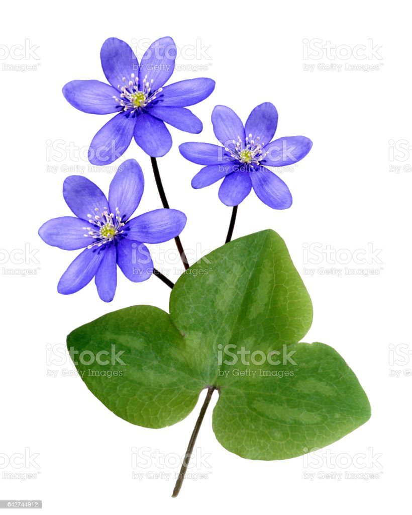 Hepatica; nobilis; stock photo
