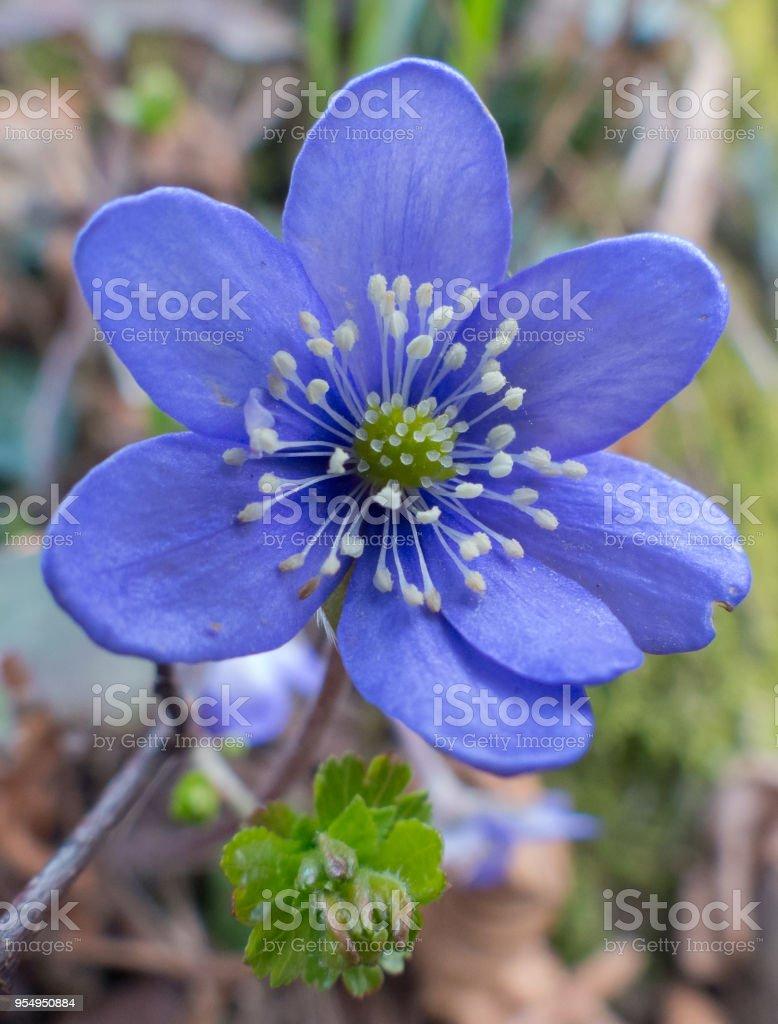 Hepatica nobilis - foto stock
