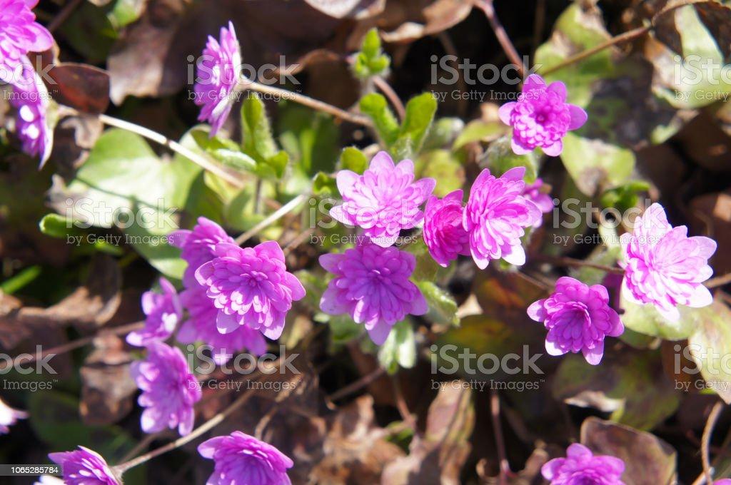 Hepatica nobilis rosea plena small pink spring flowers