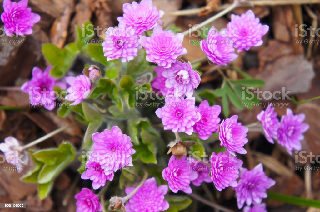 Hepatica nobilis rubra plena fully doubled pink-red flowers stock photo