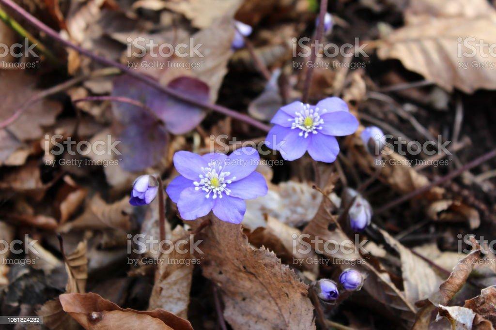Hepatica nobilis spring purple flowers stock photo