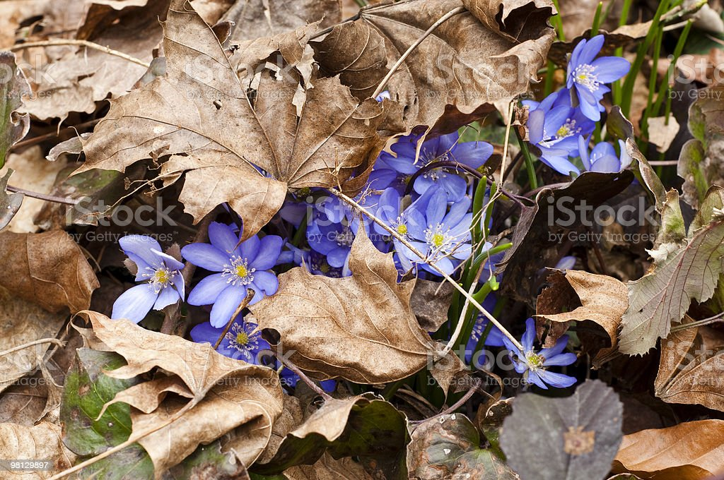 Hepatica, violet spring flower royalty-free stock photo