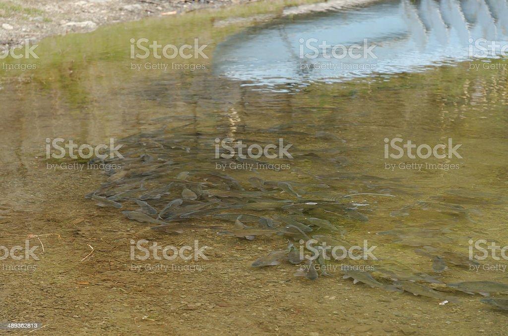 Herabuna (Carassius cuvieri) royalty-free stock photo