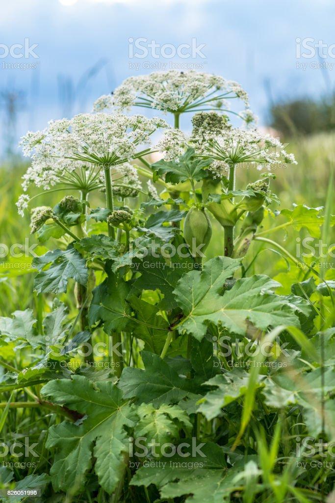 Heracleum is giftige plant foto