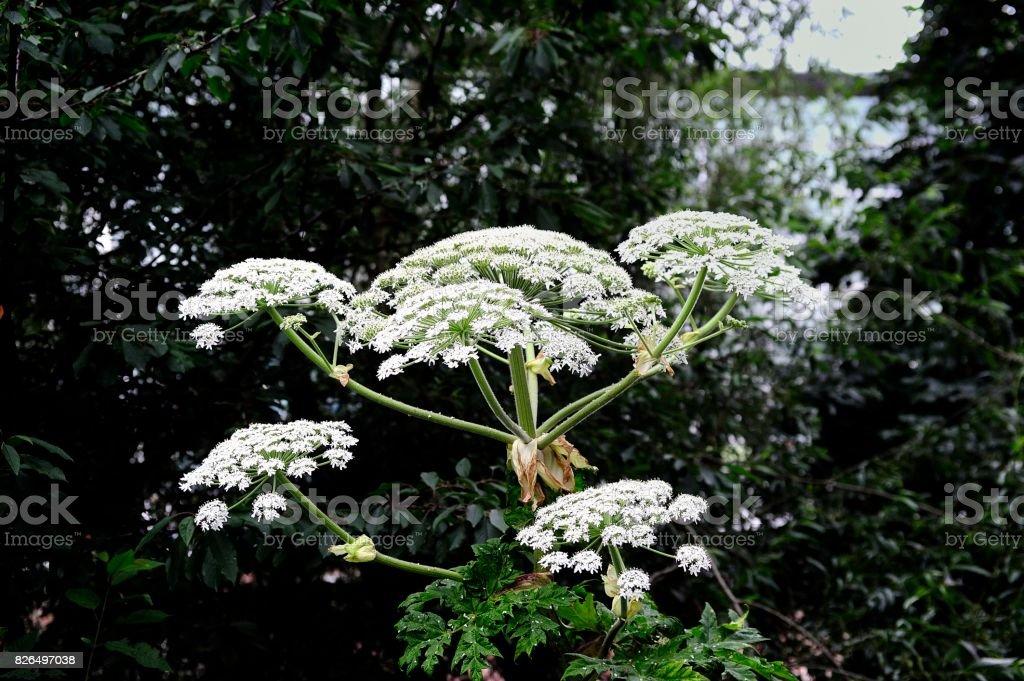 Heracleum mantegazzianum foto