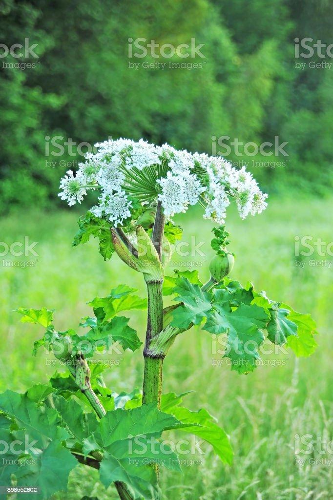 Heracleum (koe-pastinaak) plant foto