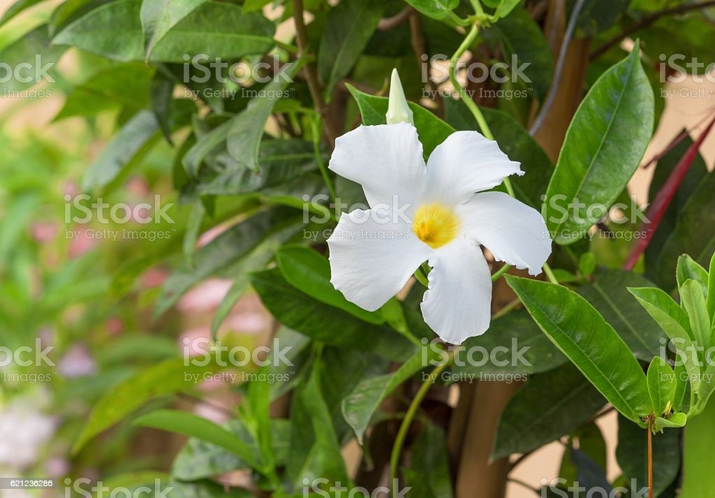 Herald trumpet white easter lily vine flower stock photo more herald trumpet white easter lily vine flower royalty free stock photo mightylinksfo