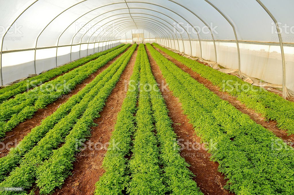 herb cultivation in a hothouse, raw of sorrel royalty-free stock photo