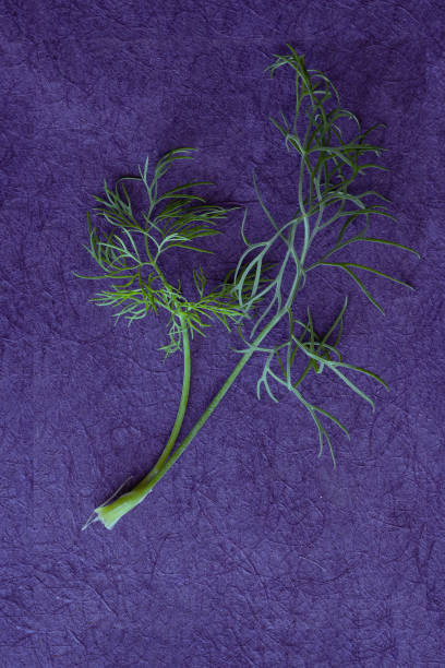 Herb Dill on purple background stock photo