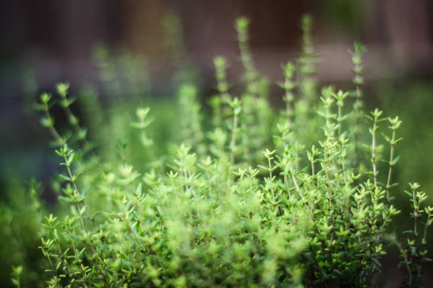 herb garden close up - thyme stock photos and pictures
