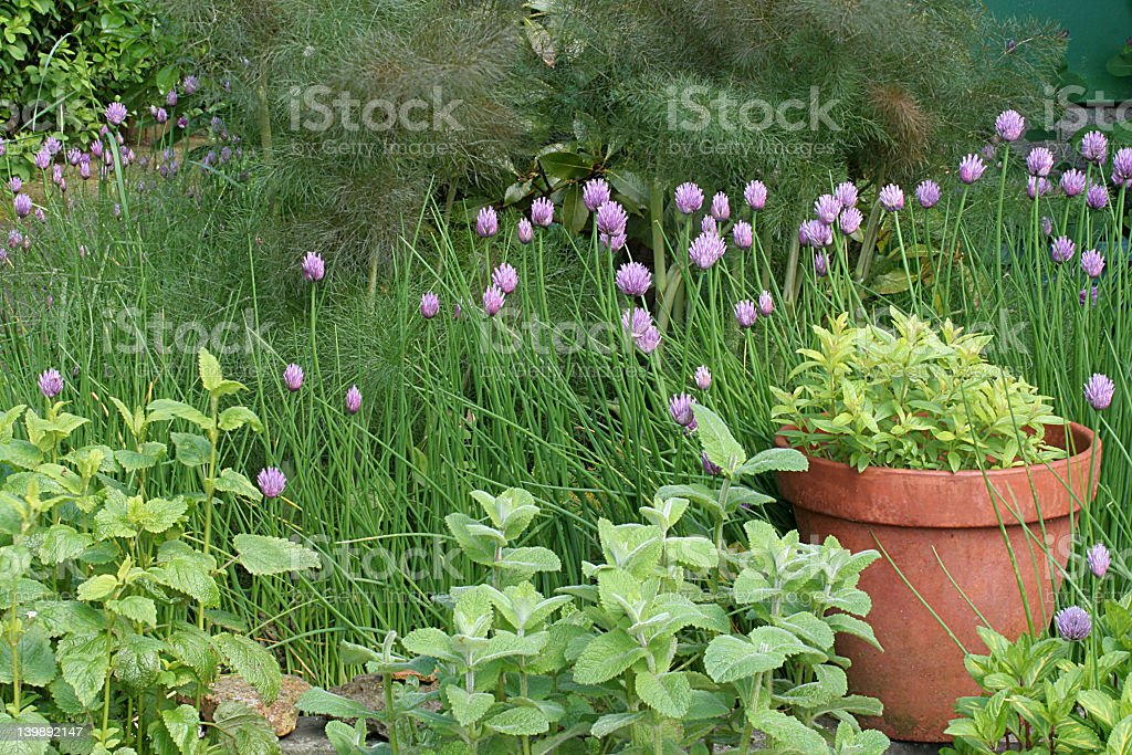 Herb garden dotted with purple flowers royalty-free stock photo