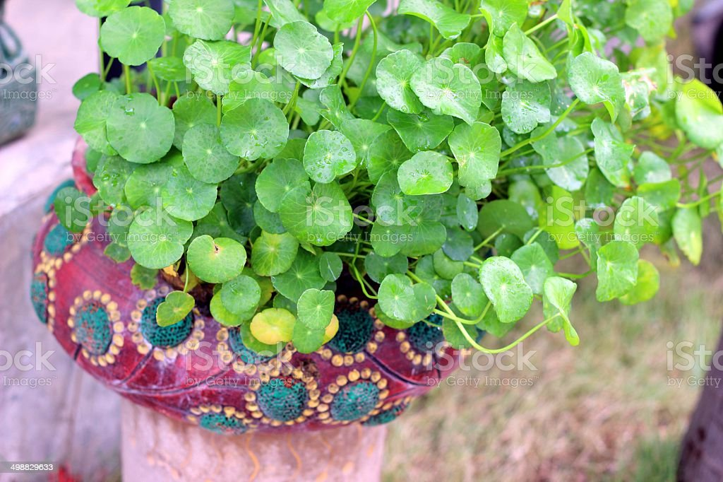 Herb garden in a blue bowl, stock photo