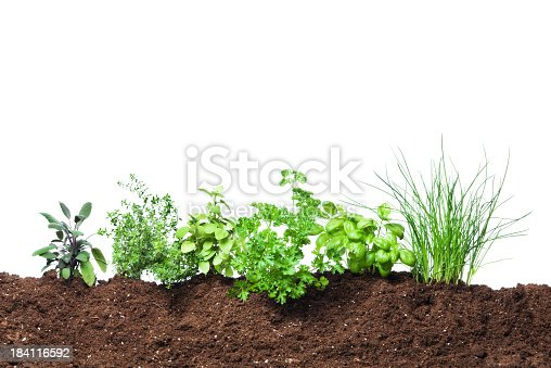 Six herb garden seedling plants in dirt, for growing fresh vegetable garden food. Gardening ground planted with parsley, basil, oregano, sage, thyme, and chives. Spring greens in soil, cut out and isolated on white background. Seasoning leaves may be grown organically as part of a vegetarian diet for healthy eating.