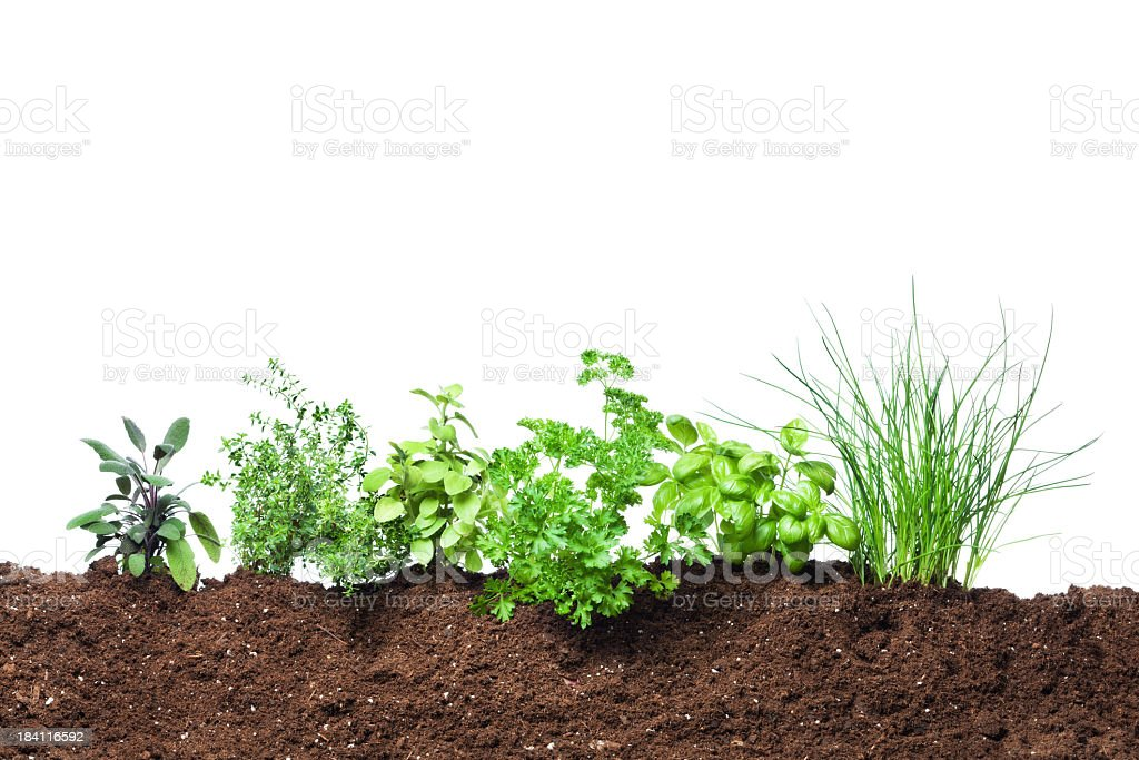 Herb Garden Seedling Plants Growing in Fresh Vegetable Gardening Dirt stock photo