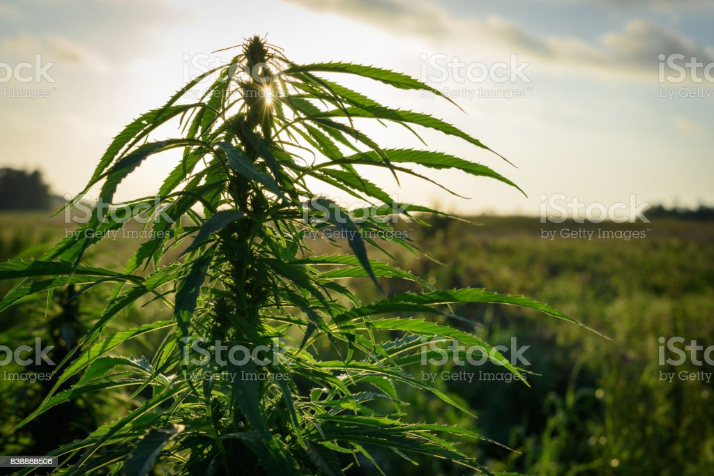 Herb in field stock photo