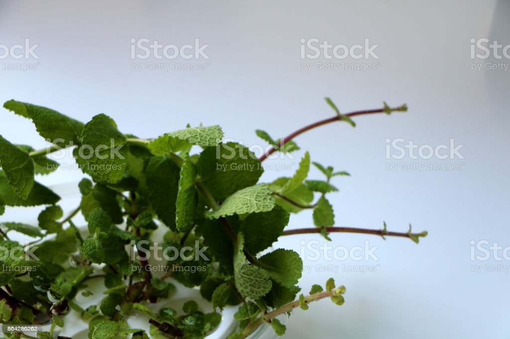 Herb lemon balm royalty-free stock photo