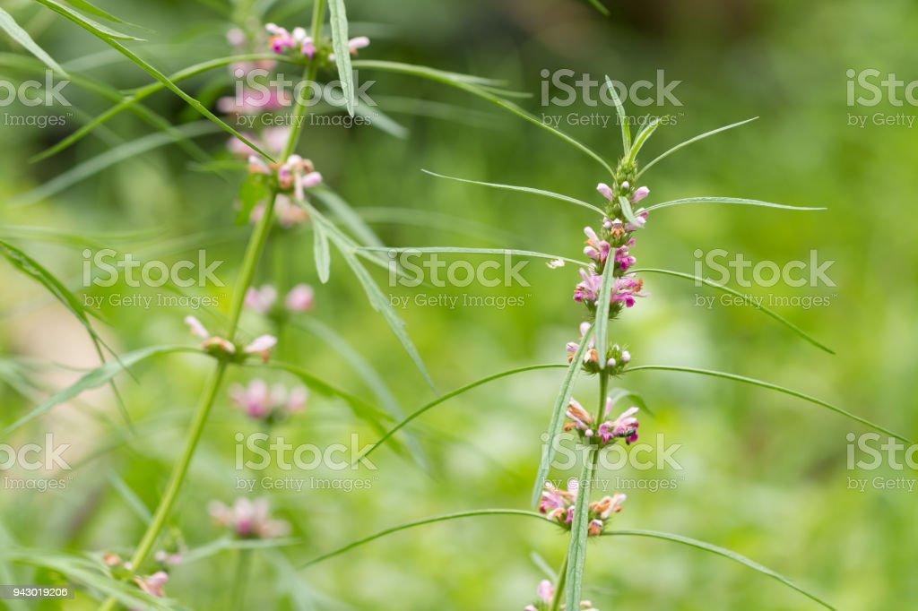 Herb Medicinal Plants Commonly Called Honeyweed Or Siberian Motherwort Scientific Name Is Leonurus Sibiricus Stock Photo Download Image Now Istock