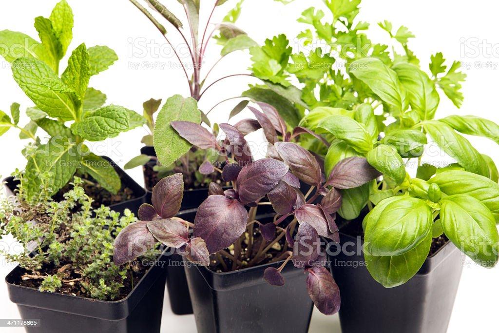Herb Nursery Seedling Close-up royalty-free stock photo