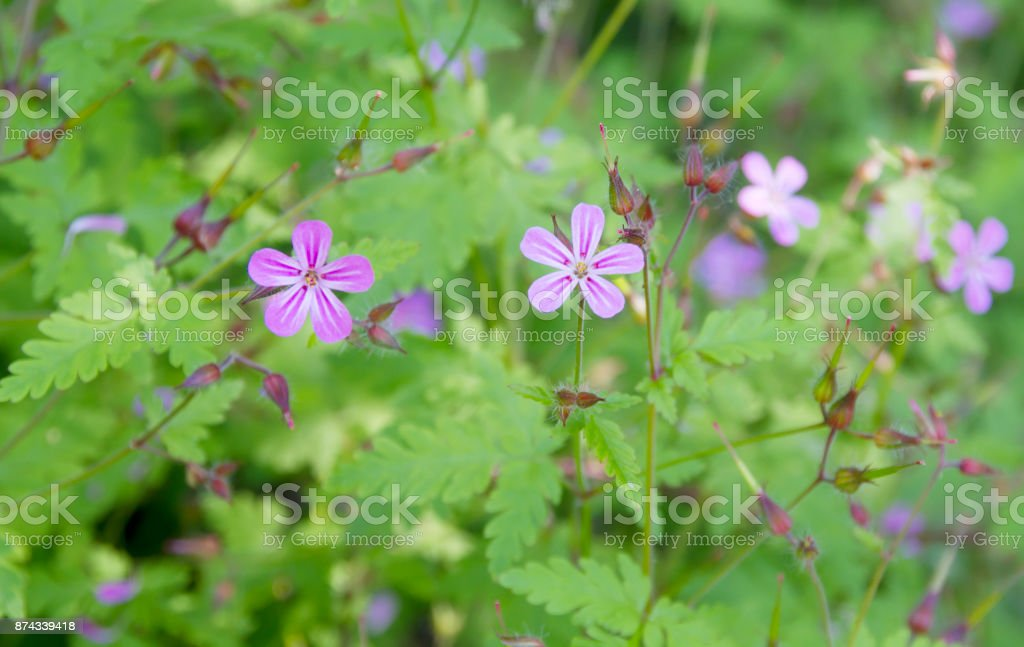 Herb Robert (Geranium robertsianum) stock photo