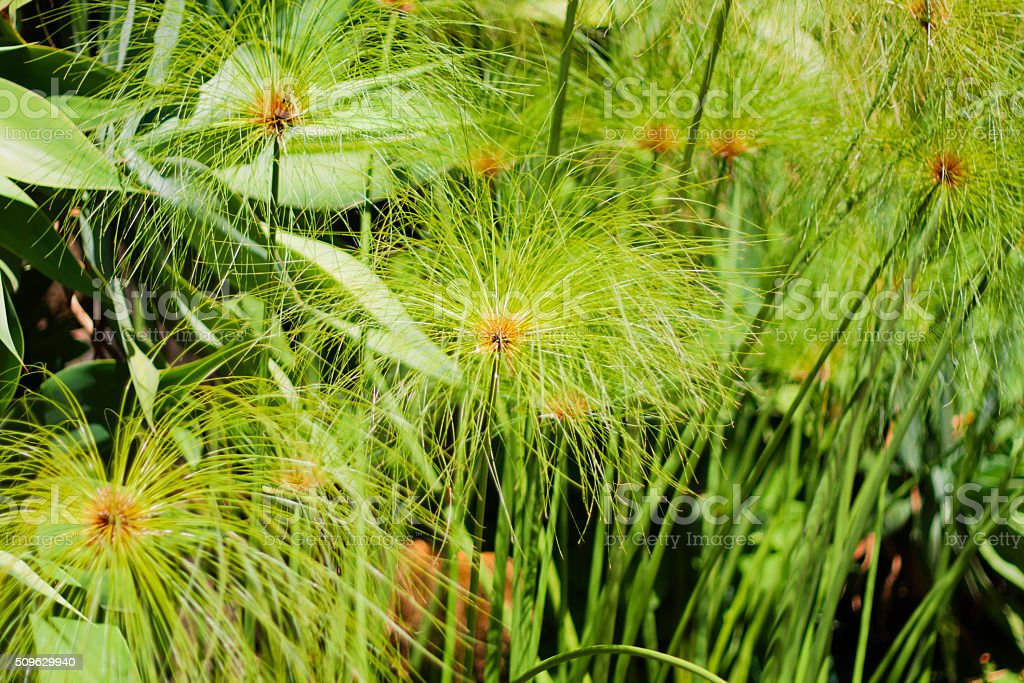 Herbaceous plant - Cyperus papyrus stock photo