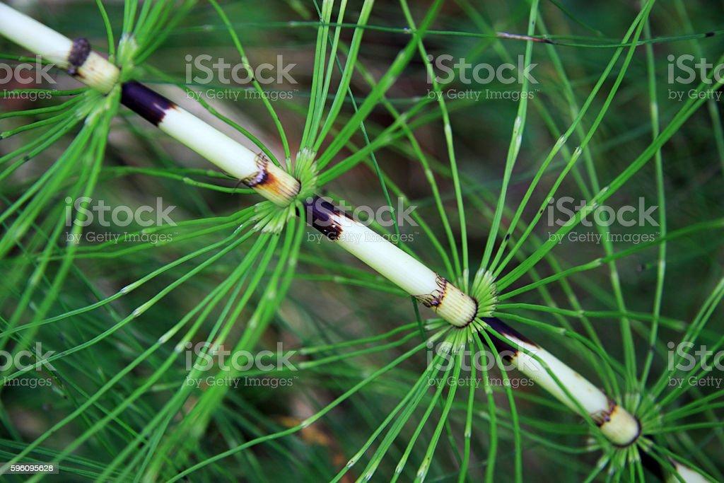 Herbaceous plant Equisetum arvense Lizenzfreies stock-foto