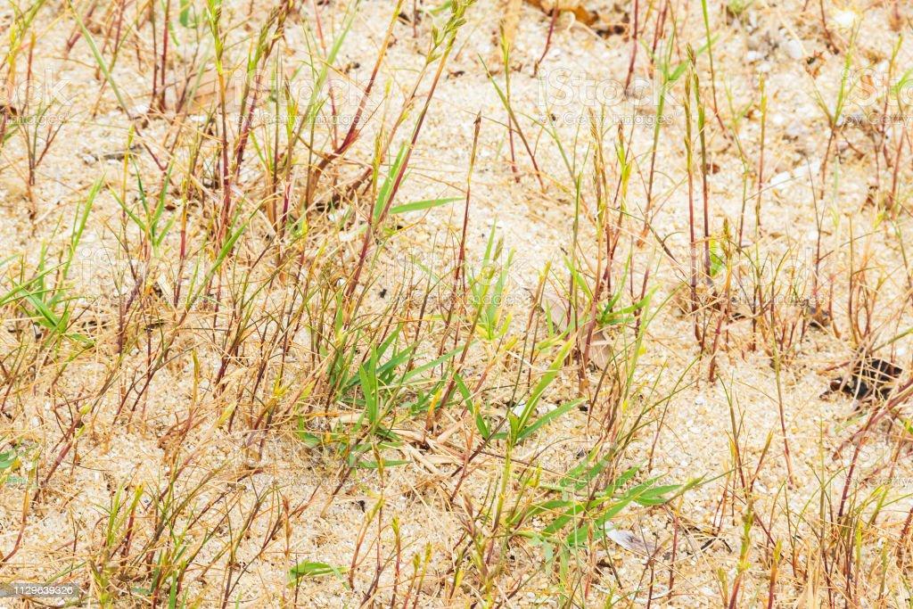 Vegetación herbácea de dunas - foto de stock