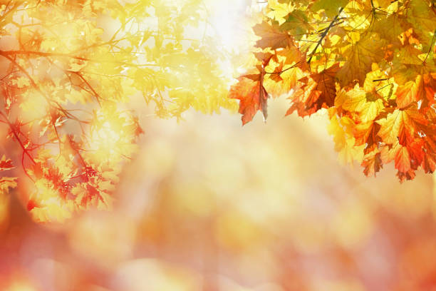 pflanzliche Hintergrund mit Ahorn-Blätter – Foto