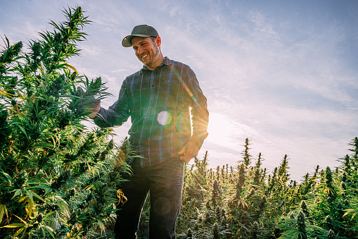 Herbal Cannabis Plants at a CBD Oil Hemp Marijuana Farm in Colorado
