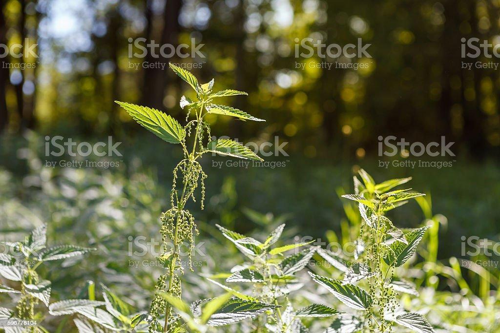 Herbal garden - nettle stock photo