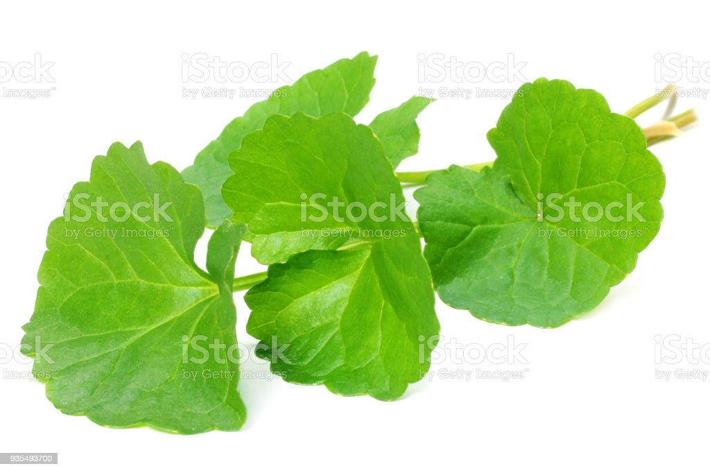 Herbal Medicinal Thankuni leaves stock photo