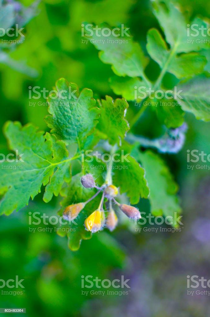 Herbal medicine. Celandine Chelidonium in garden. Healthy concept stock photo