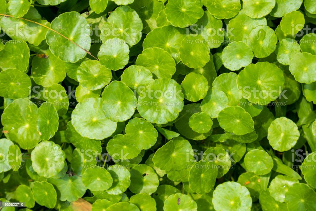 Herbal medicine leaves of Centella asiatica known as gotu kola stock photo