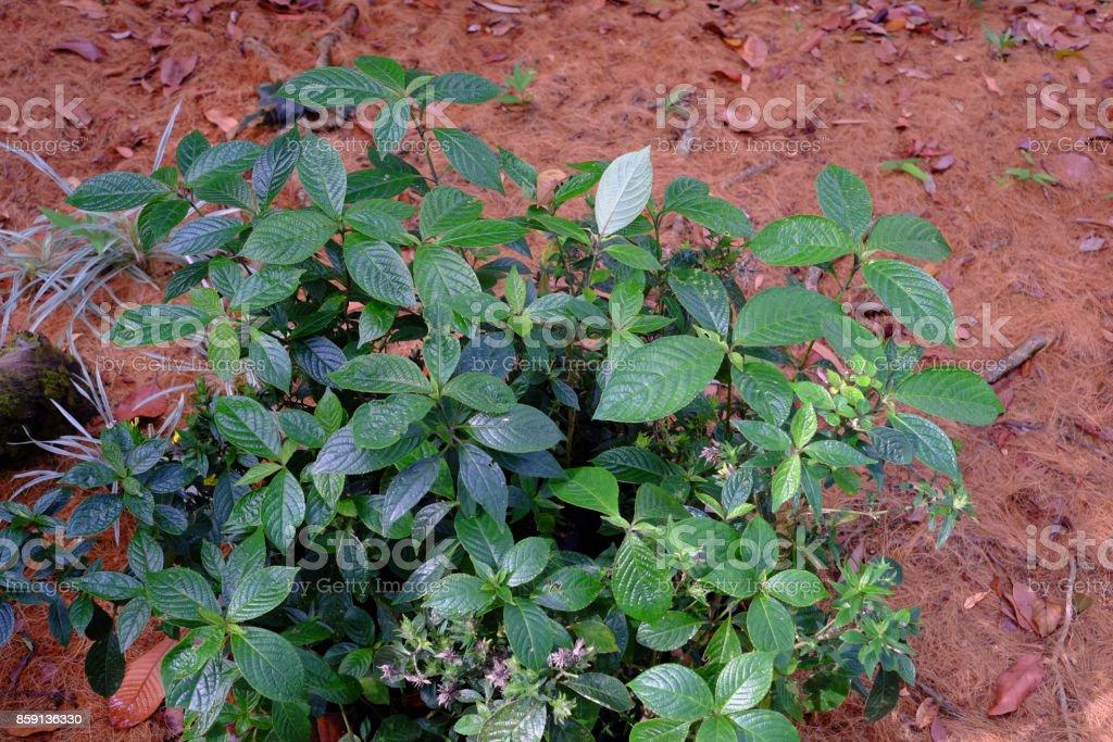 Herbal medicine Strobilanthes crispa or Batu Jin stock photo