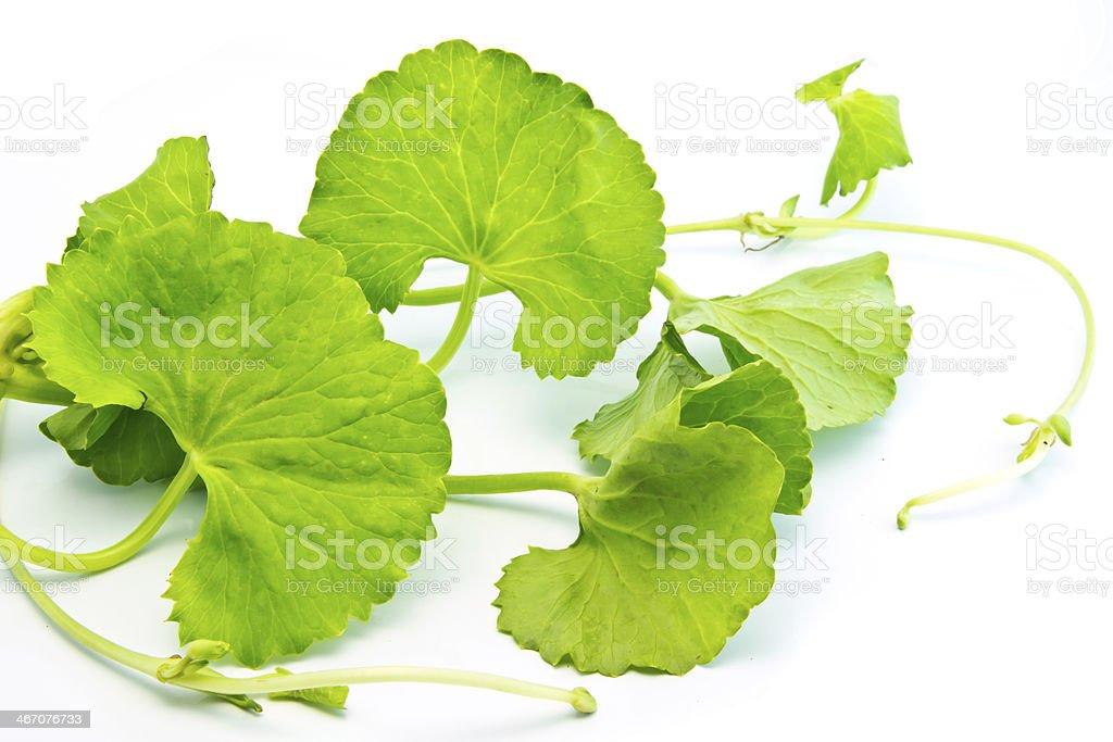 Herbal Thankuni leaves royalty-free stock photo