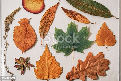 istock Herbarium from dry leaves of oak, birch, maple, willow, aspen and wormwood 942666298