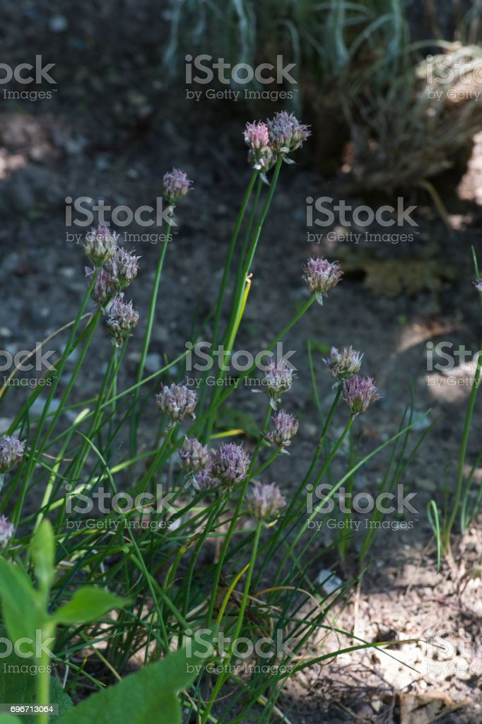 herbary garden in summer in south germany stock photo