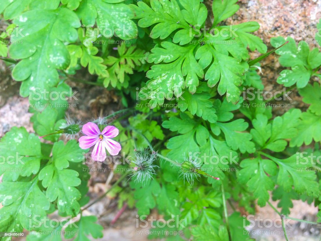 Herb-robert or little robin royalty-free stock photo
