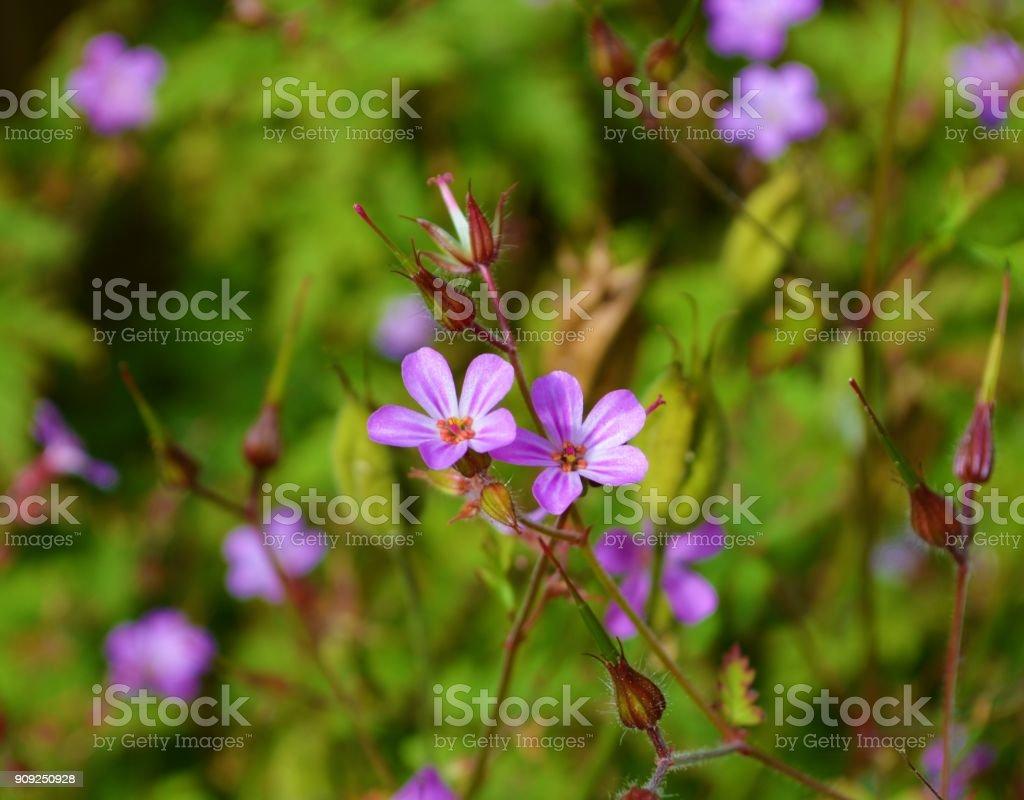 Kraut-Robert (Geranium Robertianum). – Foto