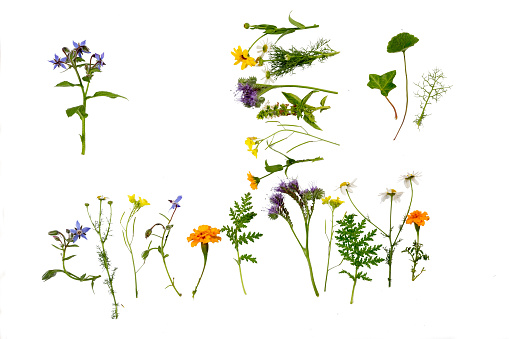 Herbs and flowers, which can be used for medical purposes, like Borage, Chamomile or Marigold, lying in rowa, isolated on white, seen from above