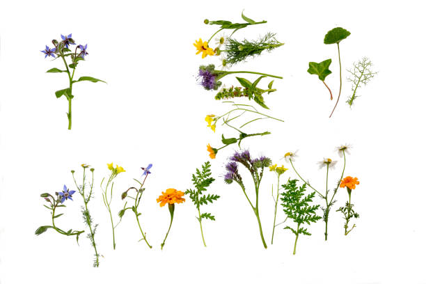 Herbs and Flowers on white background stock photo