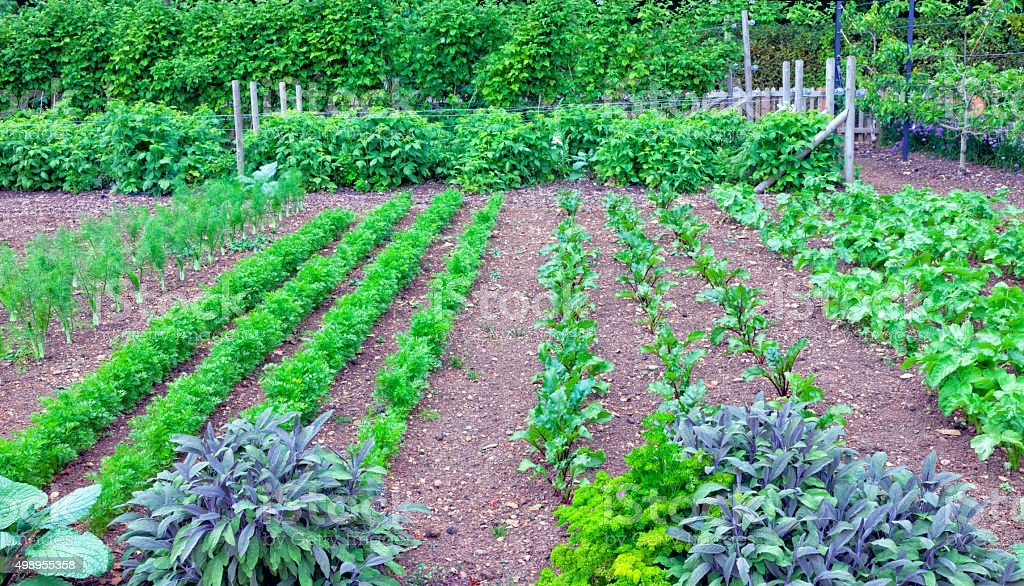 Herbs and root vegetables in a garden stock photo