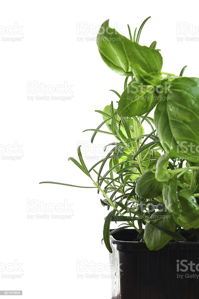 Herbs basil and rosemary royalty-free stock photo