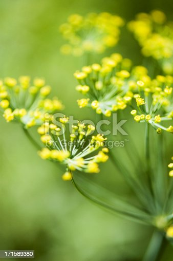 Blooming Dill. The flowers of Dill are white to yellow, in small umbels.Dill is used as a culinary herb.Outdoor Shot. Natural Light. Shallow DOF.Similar: