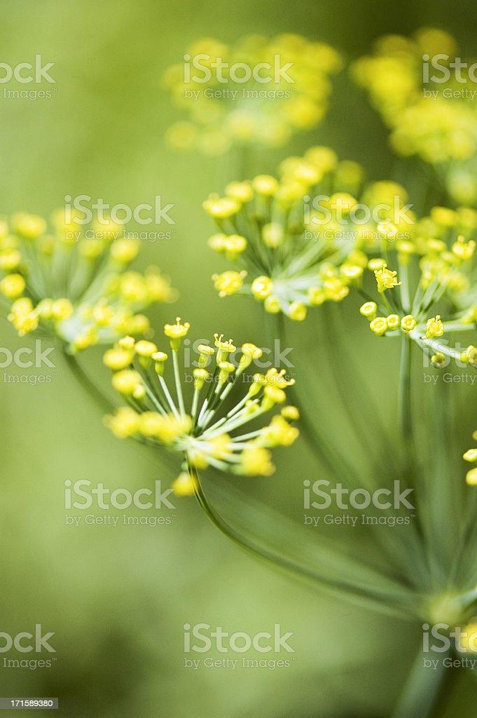 Herbs - Dill stock photo