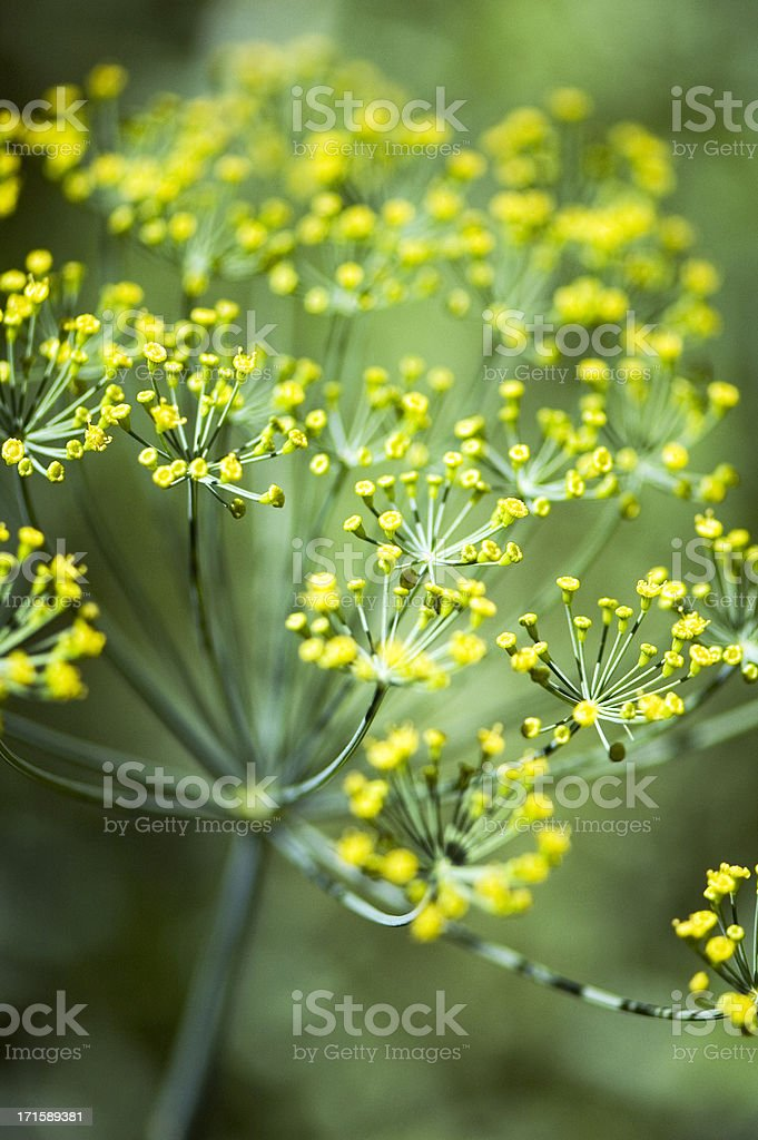 Herbs - Dill royalty-free stock photo