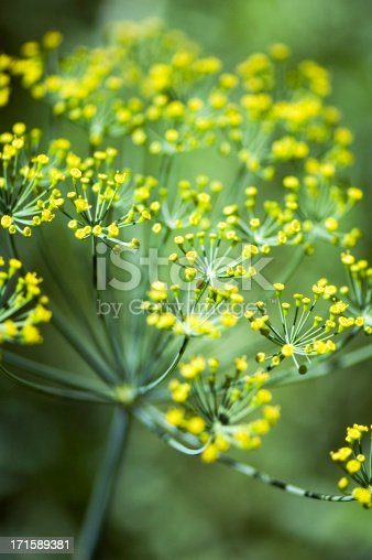 Blooming Dill. The flowers of Dill are white to yellow, in small umbels.Dill is used as a culinary herb.Outdoor Shot. Natural Light. Shallow DOF.Similar Images: