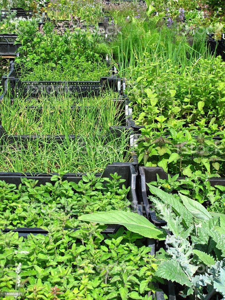 Herbs for garden royalty-free stock photo